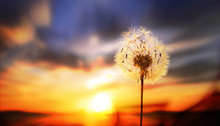 Dandelion In The Setting Sun P...
