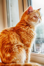 Exotic Shorthair Cat Looks Out The Window.