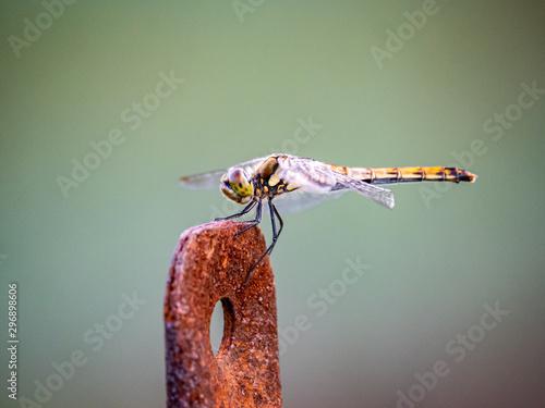 Obraz na plátně  Autumn darter Sympetrum frequens dragonly fence post 7