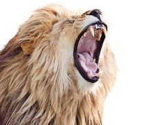 Furious Roaring Lion Male Isolated On White Background