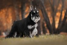 Miniature Schnauzer Autumn Dogs
