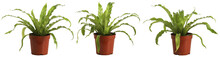 Bird Nest Fern, Isolated On Wh...