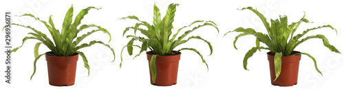 Fotomural Bird nest fern, isolated on white, easy to edge out.