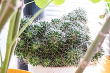 Round Cactus In A Flower Pot O...