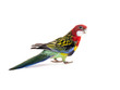 parrot Rosella parrot isolated on white background