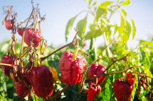 Dry wilted red bell pepper grows in the field Canvas-taulu