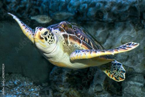 Poster Tortue Hawksbill Turtle underwater