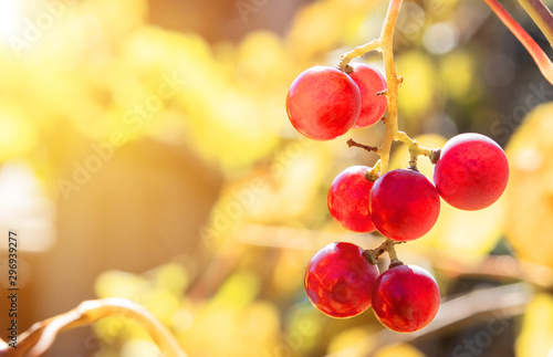 Bunch of red grapes, ripening on a vine with blurred leaves in the background. - 296939277