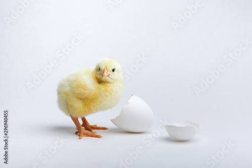 yellow chick and two halves of egg shell on a white background. Fototapet