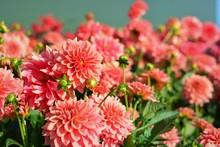 Pink Dahlia Flowers In A Field