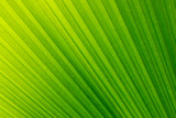 Soft focus  of lines abstract image of Green leaf of palm tree.The folds of a palm leaf creates a beautiful pattern.