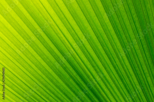 Soft focus  of lines abstract image of Green leaf of palm tree.The folds of a palm leaf creates a beautiful pattern. - 296949681