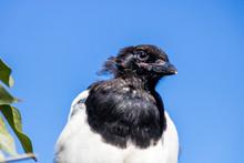 Black Billed Magpies In Profile. Calgary, Alberta, Canada