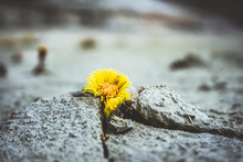 Yellow Flower Growing In Cracked Land Climate Change Global Warming