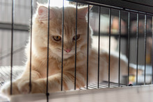 Yellow Persian Cat - Sleeping In Cage, Rim Light.