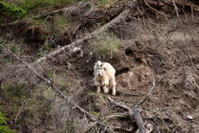 The Rocky Mountain Goat In Jas...