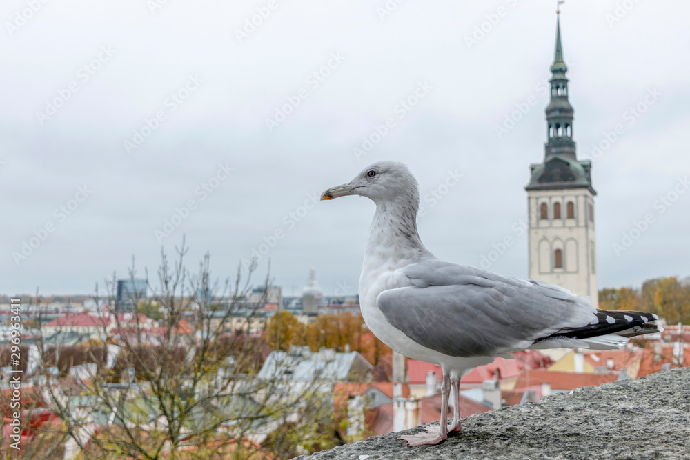 Seagull and panoramic cityscape of Medieval Old Town in Tallinn with Saint Nicholas Church, Estonia