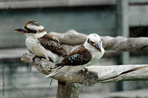 Fotografia couple de Martins Chasseurs Géants d'Australie