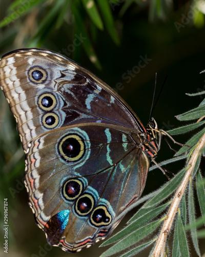 Blue morpho butterfly Tablou Canvas