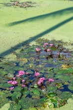 Water Lilies, Asia