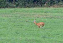 Roe Deer Running On The Meadow...