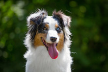 Portrait Of Adorable Blue Merle Australian Shepherd With Different Eyes
