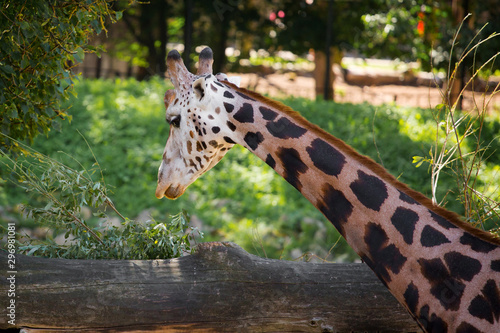 Giraffe at the zoo in summer Wallpaper Mural