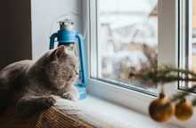 A Gray Scottish Cat Lies On The Back Of The Sofa And Looks Out The Window. The Cat Is Watching The Falling Snow.