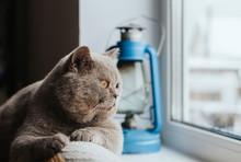 A Gray Scottish Cat Lies On Th...