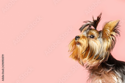 Foto  Adorable Yorkshire terrier on pink background, space for text