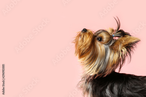 Fototapeta Adorable Yorkshire terrier on pink background, space for text