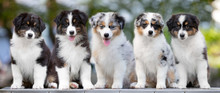 Group Of Puppies Australian Sh...