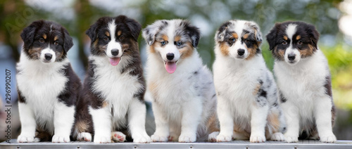 Fotografie, Tablou group of puppies australian shepherd dog posing in summer on a table