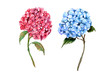 Leinwanddruck Bild Pink and blue hydrangeas on a white background . Watercolor hand draw