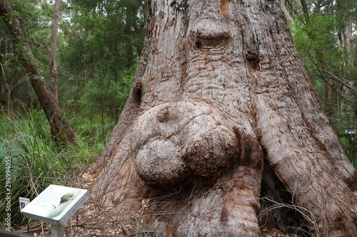 Valokuvatapetti Red Tingle Tree in Valley of the Giants Tree Top Walk in Western Australia