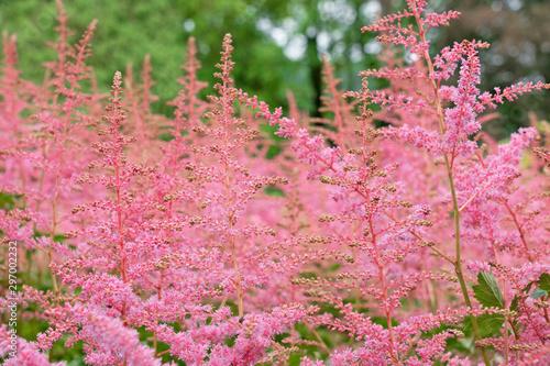 Foto auf AluDibond Rosa Lovey Pink grass in summer, Norwegian nature, Rosendal park