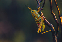 Florida Grasshopper Macro