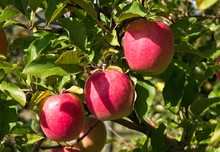 Three Pink Lady Apples In Tree