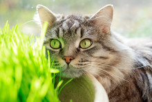 Lazy Lovely Fluffy Cat Lying Near The Window. Gray Tabby Cute Kitten With Beautiful Eyes. Fresh Green Grass. Natural Food And Vitamins For Pets Concept. Hairball Treatment.