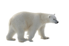 Polar Bear Isolated On White B...