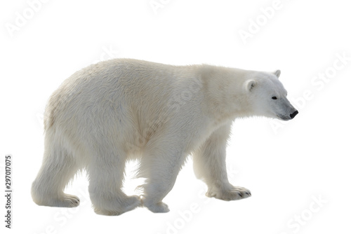 Valokuvatapetti Polar bear isolated on white background