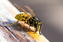 Wasp On A Wooden Surface