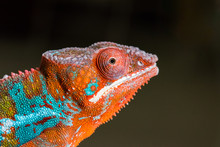 Panther Chameleon Profile Port...