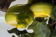 Green Tree Python Coiled Up Re...