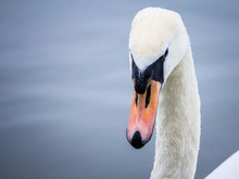 Closeup On A Swan, A Headshot ...