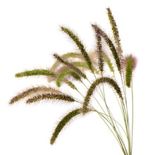 Foxtail Barley On White Background