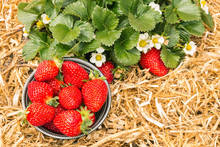 Ripe Strawberries In Bowl With Strawberry Plant Growing In Organic Garden