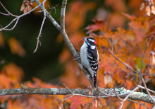 Downy Woodpecker On Branch In Fall