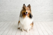 Beautiful Brown Sheltie Dog With Blue Eyes In A Studio On White Wood Floor