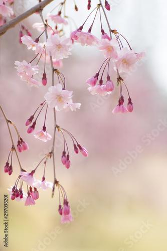 Obraz na plátně  可憐なしだれ桜
